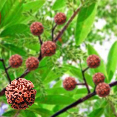 Five Faced (5 Mukhi) Rudraksha Bead Good for Pooja,Yoga, Meditation